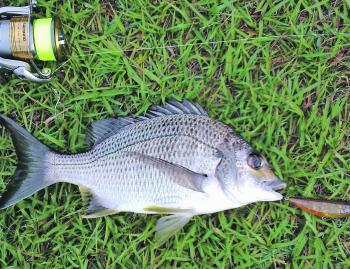 Small bream are in abundance and will readily smack topwater offerings