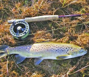 This is why we love the Bronte Lagoon shallows: a good early season brown trout to give us something to look forward to.
