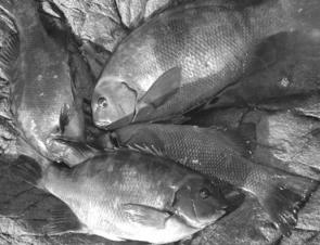 Four pigs to 2kg on bream gear is no mean feat. Rock blackfish are one off the best eating fish available at this time of year and go hard enough to challenge any angler