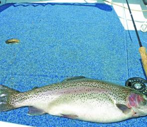 The author's magnificent rainbow trout from Lake Ellingamite