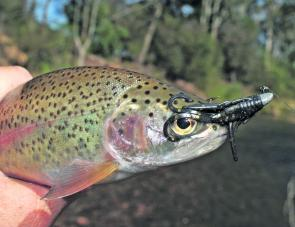 "A rainbow trout taken on the deadly black Strike Tiger 1"" nymph soft plastic in the Ovens River during the last Christmas break when the fish were very flighty."