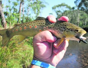 "A beautifully coloured brown trout that fell to the reliable Strike Tiger 1"" nymph in the Ovens River during a period of high fishing pressure."