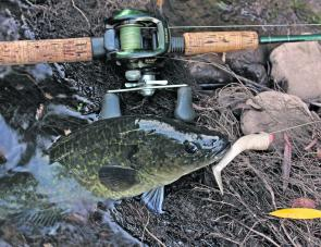 A young Murray cod caught on a Squidgy Slick Rig in drop bear colour.