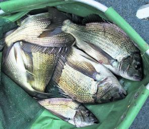 A typical catch of Curdies River bream just prior to release.