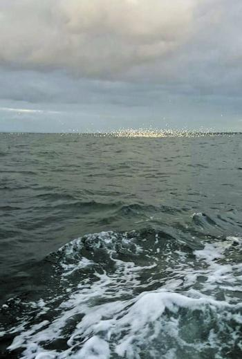 A huge school of feeding salmon and birds working off Altona. Photo courtesy of Matty Calleja.