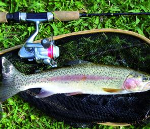 Trout like this rainbow were plentiful last season and will be ready for the October opening.
