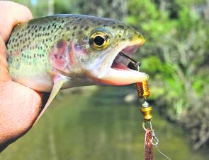Small rainbow trout in mountain streams love metallic bladed spinners.