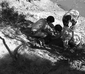 The crocodile was released after it had been sexed, micro-tagged, weighed and measured.