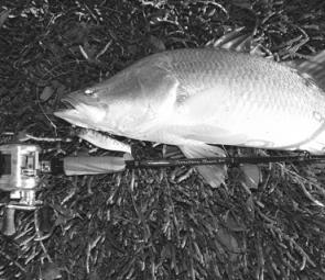 The new 8kg Territory Barra Live Fibre is a mean soft plastic chucker in and around the snags. This barra fell to a Tropic Angler 10cm Live Bait Soft Plastic.