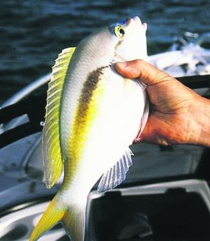 Barred-face spinecheek are a common catch on the reefs.