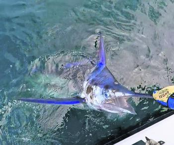 John Wilton with his first black marlin that was out playing with the big boys in 800 fathoms prior to Christmas.