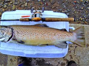 Increasing numbers of big brown trout are being caught in Eucumbene and Jindabyne as they return hungry from spawning.