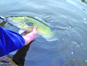 Using a lip grip and gentle handling greatly aids proper release of Murray cod, especially