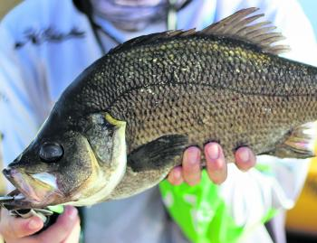 Estuary perch have also been getting in on the madness.