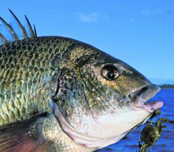 Bream of all types are prime crab targets, but these lures catch plenty of other species, too.