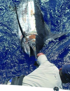 Not all SEQ black marlin are small – Jeremy caught around 150kg of black marlin from off Moreton Island last season.