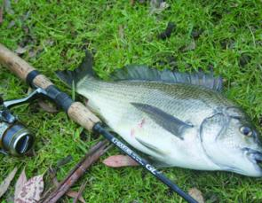 An Erskine River bream that fell to a small soft plastic lure. There are stacks of small bream in the Erskine estuary, but for persistent anglers there are some thumpers as well.