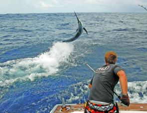 A decent marlin being tagged by fellow QFM writer Ben Job.